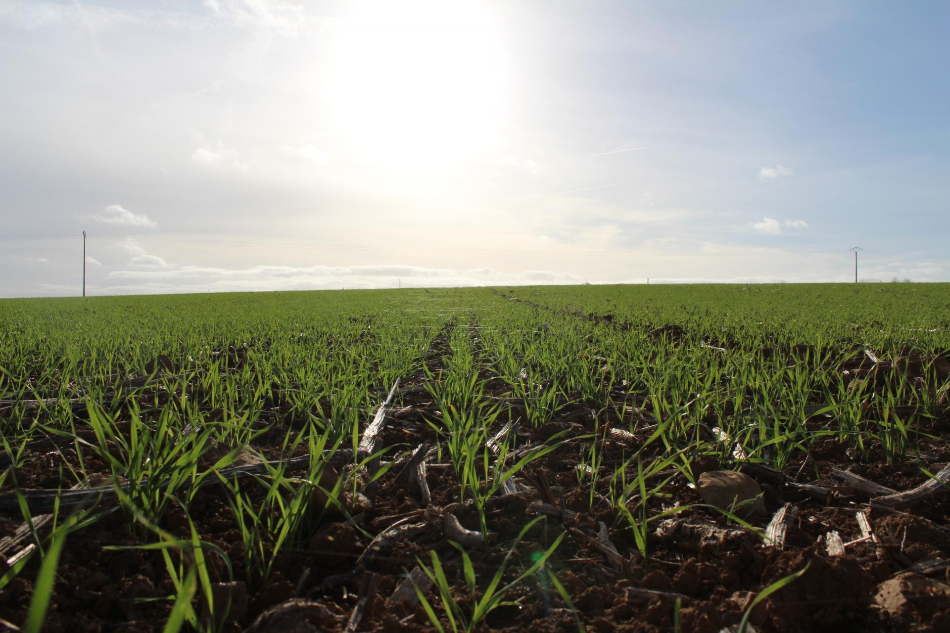 Levée des blés